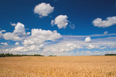 Beautiful field of ripe wheat under blue cloudy sky Stock Photo - 7084300