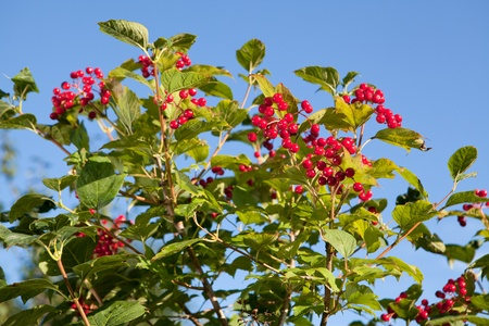 guelder: Fresh red berries on the background of a blue sky