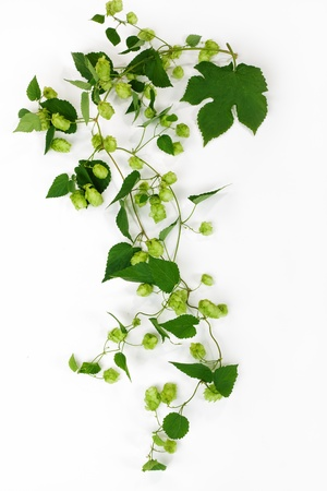 Hop  Isolated on white Stock Photo - 17387191