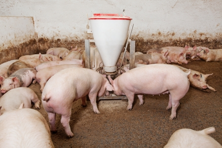Pig farm Stock Photo - 18676164