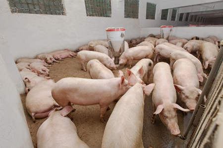 Pig farm Stock Photo - 18686747