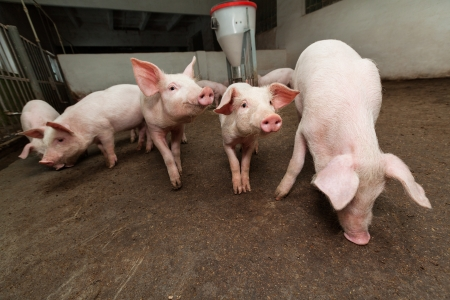 Pig farm Stock Photo - 18686760