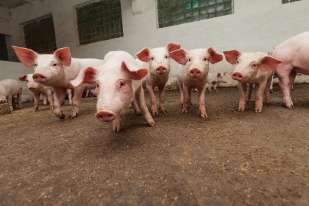 Pig farm Stock Photo - 18686741