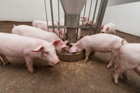animal breeding: Pig farm