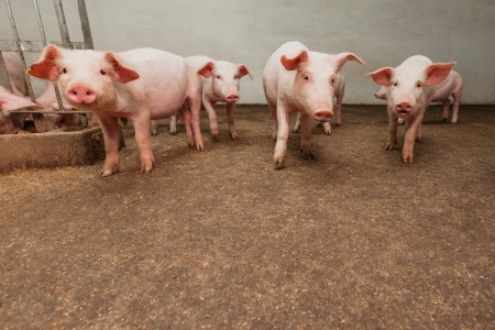 Pig farm Stock Photo - 18686711