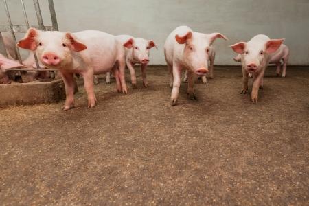 landrace: Pig farm