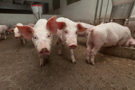 landrace: Granja de cerdos Foto de archivo