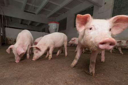 pigpen: Pig farm