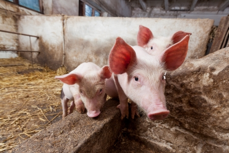 landrace: Young pigs on the farm