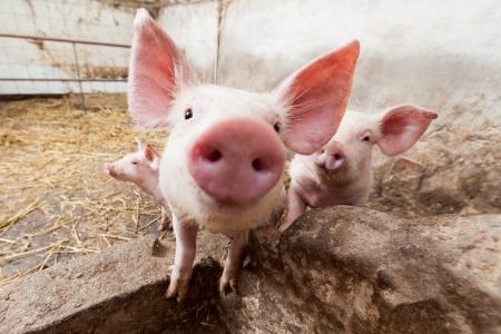 landrace: Los cerdos j�venes en la granja