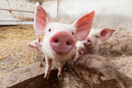 snout: Young pigs on the farm
