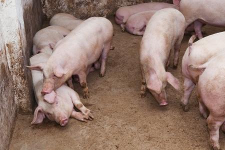 landrace: Listo para el sacrificio de cerdos en la granja Foto de archivo