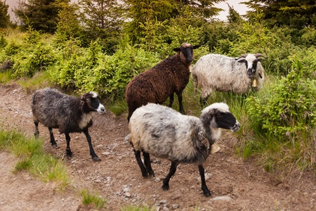 flock of sheep: Sheeps in carpathian mountains