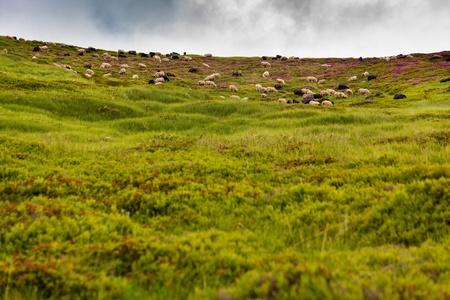 Sheeps in carpathian mountains photo