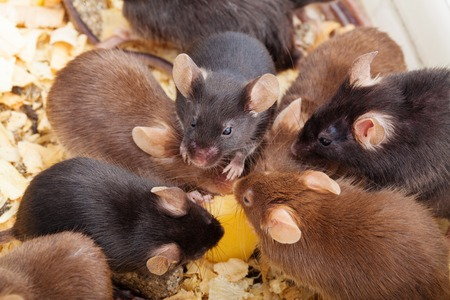 Group of laboratory mouses eating cheese  Top view photo