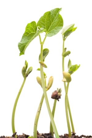 bean sprouts: Growing beans plants over white backround