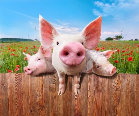 landrace: Cerdos j�venes en la granja mirando por encima de la valla. Foto de archivo