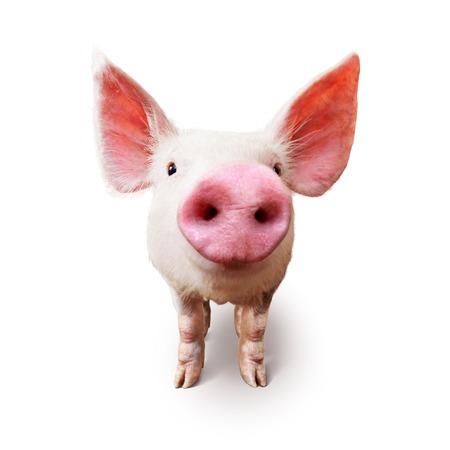 cerdos: Cerdos jóvenes en la granja mirando por encima de la valla. En el fondo blanco.