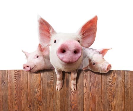 landrace: Cerdos j�venes en la granja mirando por encima de la valla. En el fondo blanco.