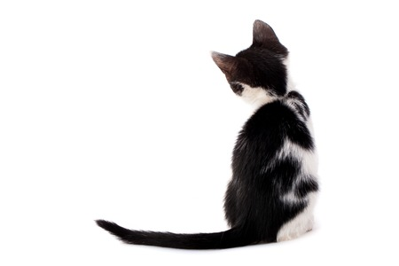 Studio shot of adorable young black and white kitten from back Stock Photo