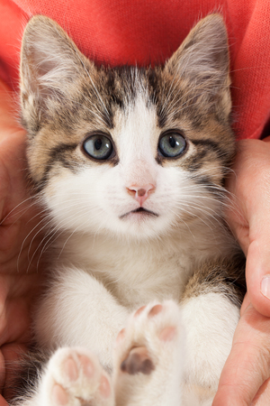 Young kitten lies in the hands Stock Photo