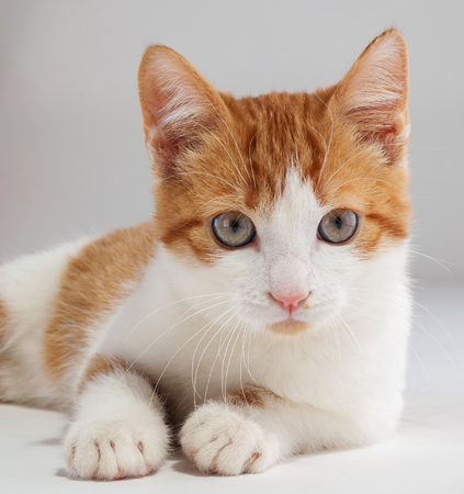 Young red kitten posing