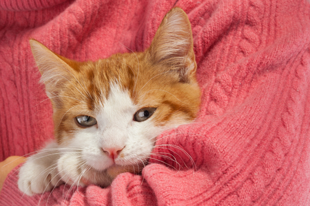 Young red kitten sits in the hands Stock Photo