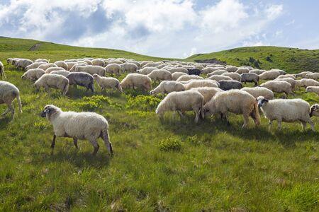 Sheep graze on a high mountain plateau Foto de archivo