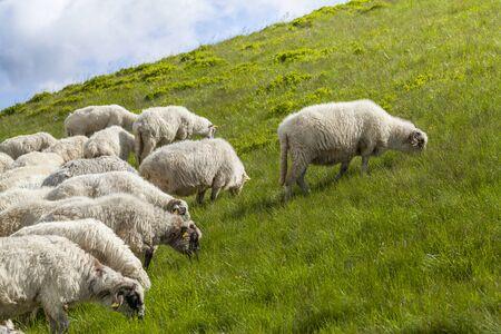 Las ovejas pastan en una meseta de alta montaña