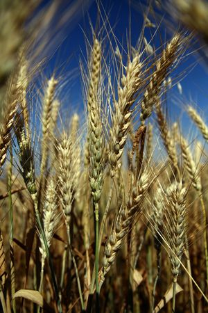 Wheat Stock Photo - 887436