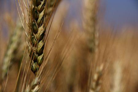 version: wheat colourful version