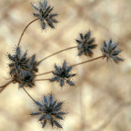 thorny Grass