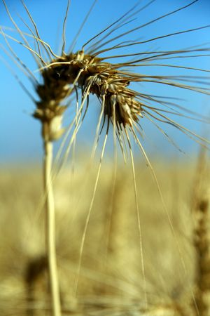 wheat standing alone photo