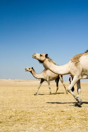 Going camels Stock Photo - 1208294