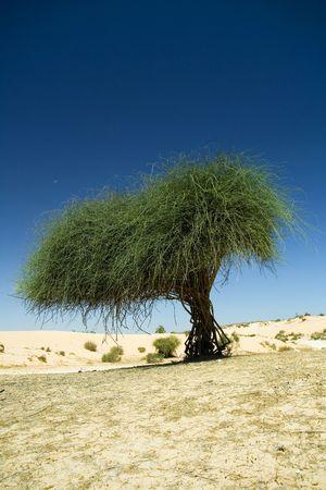 cocaine: deserts tree alone  Stock Photo