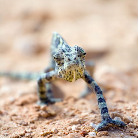 closeup of looking angry chameleon Stock Photo - 1720760