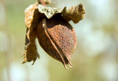 closed cotton bug