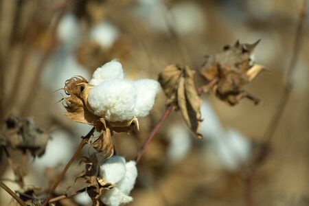on the cotton field
