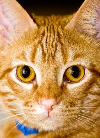 close up portrait of red cat