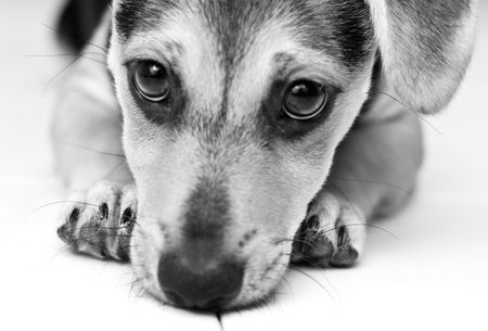 Black and white picture of young puppy Stock Photo