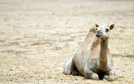 Camel on the field Stock Photo - 3464738