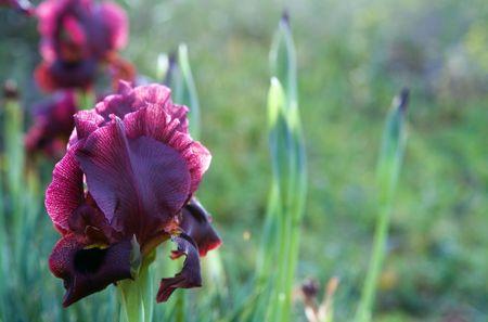 backlited black irises, evening lights photo