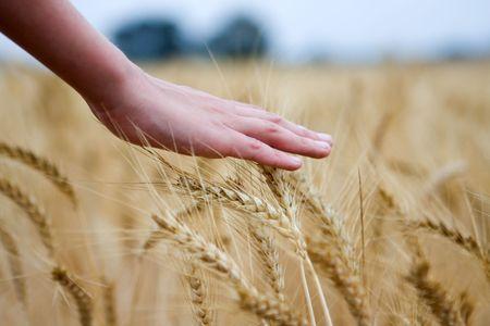 hand touching dry wheat ears