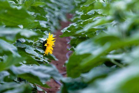 single yellow sunflower on the green field photo