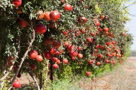 Pomegranate cultivation Stock Photo - 8116068