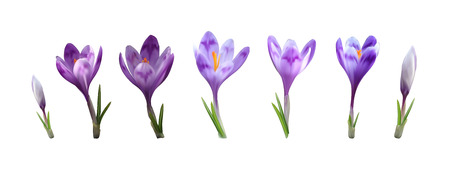 photorealistic vector crocus saffron flower set. early spring purpler bloom and green levaes isolated design template  イラスト・ベクター素材