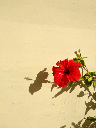 Bright red hibiscus flower in front of the pale yellow wall and with a sharp shadow silhouette in a bright sunlight. Background with a copy space.