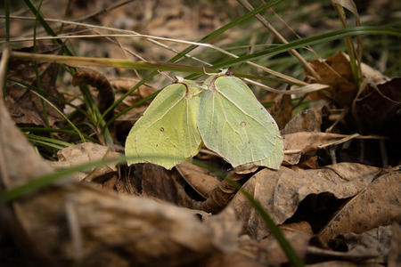 Close-up of two mating brimstone butterflies Gonepteryx rhamni sitting on grass, surrounded by dry leaves. Nice sunny spring day. Selective focus. Banco de Imagens