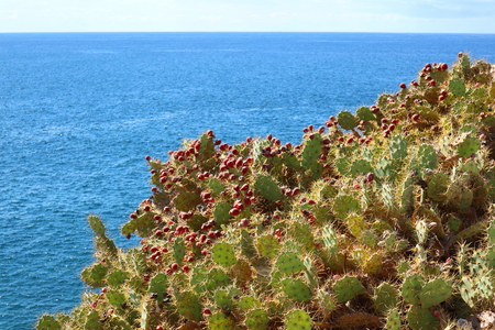 Tenerife opuntia cactuses on a sunny day with red fruits. Blue ocean water on background. Stock Photo