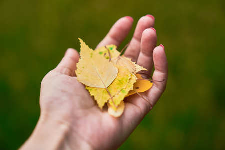 Hand of a woman holding a handful of yellow autumn tree leaves.